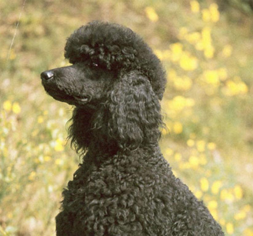 A black poodle